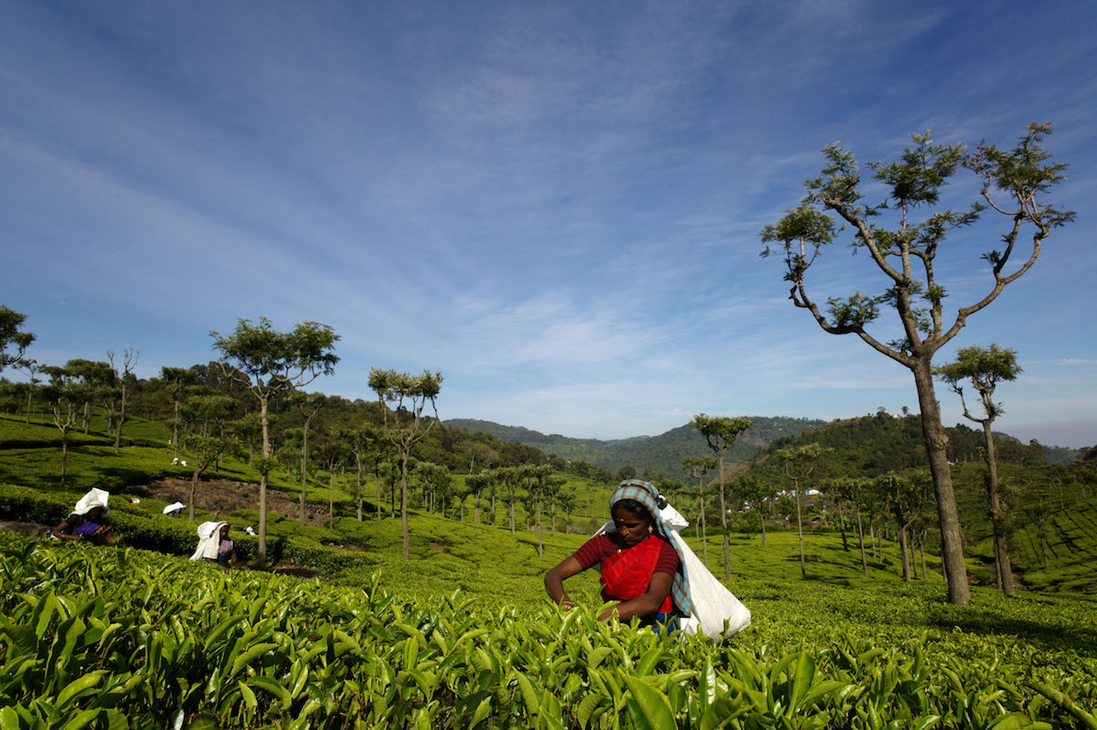 Women working on a tea plantation in India